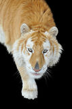 Golden tabby tiger Stock Photos