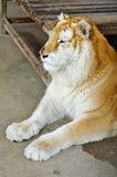 Golden tabby tiger. The Golden Tabby Tiger is an extremely rare colour variation of this exquisite wild cat, and not a separate subspecies Stock Photography