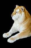 Golden tabby tiger. The Golden Tabby Tiger isolated on black background Stock Images