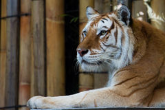 Golden Tabby Tiger Royalty Free Stock Photography
