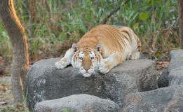 Golden tabby tiger. Resting on the rock royalty free stock photography