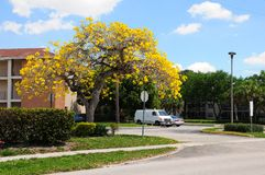 Golden tabebuia tree in full bloom Royalty Free Stock Image
