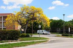 Golden tabebuia tree in full bloom Royalty Free Stock Image