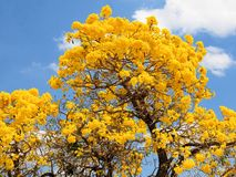 Golden tabebuia tree in full bloom & blue sky Royalty Free Stock Photos