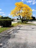 Golden tabebuia tree Royalty Free Stock Photos