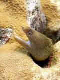 Golden Tail Moray Eel. A brightly coloured and spotted Golden Tail Moray Eel eyes us from the coral reef Stock Image