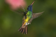 Golden-tailed Sapphire in hover. Ecuador Stock Photography