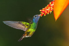 Golden-tailed Sapphire in hover suckling. On flower, Ecuador Royalty Free Stock Photography