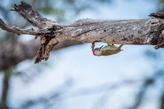 Golden-tailed woodpecker on a branch. Stock Photo