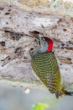 Golden-tailed Woodpecker creating holes Royalty Free Stock Image