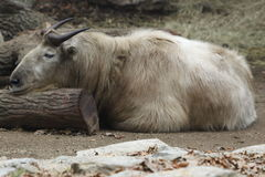 Golden takin Royalty Free Stock Photos