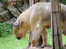 Golden takin Royalty Free Stock Photography