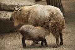 Golden takin (Budorcas taxicolor bedfordi). Stock Photography