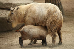 Golden takin (Budorcas taxicolor bedfordi). Royalty Free Stock Images