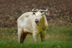 Golden takin, Budorcas taxicolor bedfordi, goat-antelope from Asia. Big animal in the nature habitat. Wildlife scene from nature. Stock Photography