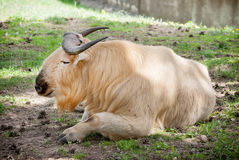 Golden takin (Budorcas taxicolor bedfordi) Royalty Free Stock Photography