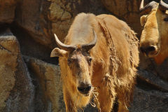 Golden Takin Stock Images