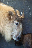 Golden takin (Budorcas taxicolor bedfordi). Royalty Free Stock Photography