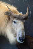 Golden takin (Budorcas taxicolor bedfordi). Stock Photos