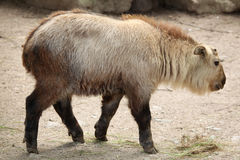 Golden takin (Budorcas taxicolor bedfordi). Royalty Free Stock Photo
