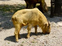 A golden Takin eating plants on the ground Royalty Free Stock Photos