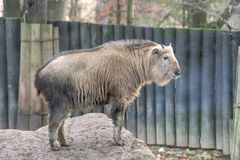 Golden Takin Royalty Free Stock Photo