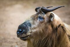 Golden Takin Portrait In Nature Royalty Free Stock Photography