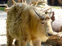 A golden Takin walking at Shanghai wild animal park Royalty Free Stock Image