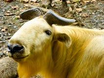 A golden Takin walking at Shanghai wild animal park Stock Photography