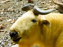 A golden Takin walking at Shanghai wild animal park Royalty Free Stock Photography