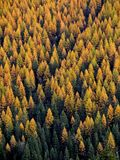 Golden Tamaracks. This image of the tamaracks sporting their fall color was taken in western Montana Royalty Free Stock Photos