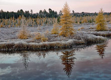 Golden tamaracks on a frosty sunrise Stock Photo