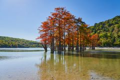 Golden Taxodium distichum stand majestically in a gorgeous lake against the backdrop of the Caucasus Mountains in the fall. Autumn. October. Sukko Valley stock images