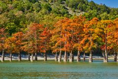Golden Taxodium distichum stand majestically in a gorgeous lake against the backdrop of the Caucasus Mountains in the fall. Autumn. October. Sukko Valley stock photo