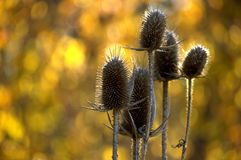 Golden teasel Stock Photo