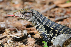 Golden Tegu Royalty Free Stock Image