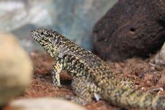 Golden tegu lizard Royalty Free Stock Photos