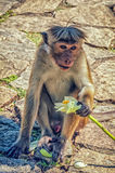Golden temple in Dambulla monkey Royalty Free Stock Photo
