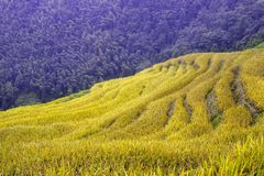 Golden terraced fields Royalty Free Stock Images