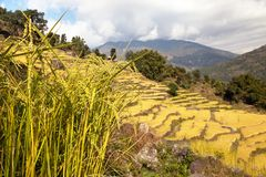 Golden terraced rice field in Solukhumbu valley, Nepal Royalty Free Stock Images