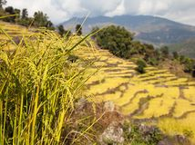 Golden terraced rice field in Solukhumbu valley, Nepal Stock Image