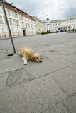 Golden terrier waits for the owner Stock Images