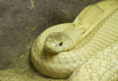 Golden Thai Python Stock Images