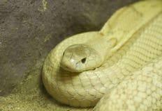 Golden Thai Python Stock Images