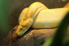 Golden Thai Python. The golden Thai python is same species as Burmese python, but a genetic mutation causes the scales to turn golden, Very rare in the wild Royalty Free Stock Photography