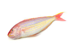 Golden threadfin bream Stock Photos