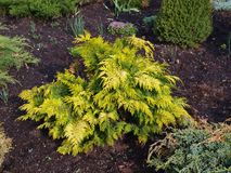 Golden thuja Stock Photography