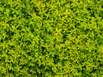 Golden thyme, herb. Background close up detail of herb royalty free stock images