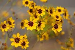 Golden Tickseed - Coreopsis tinctoria Royalty Free Stock Image