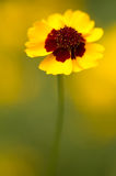 Golden tickseed  (lat. Coreopsis tinctoria) Stock Images